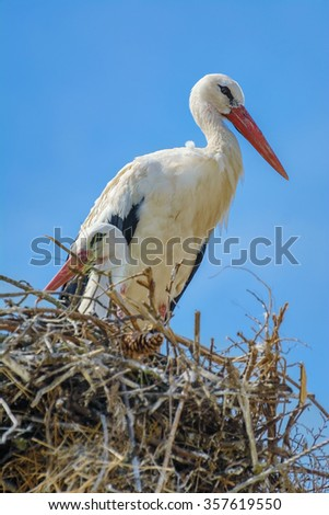 Two Storks in the Nest - stock photo