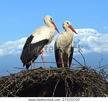 Two storks on a nest in the wild habitat - stock photo