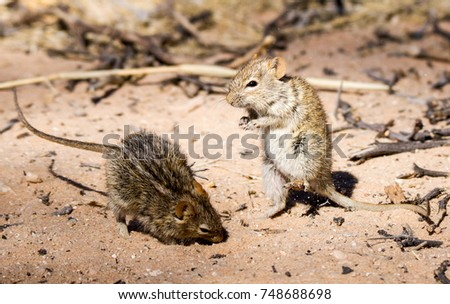Two striped mice in Kgaligadi Transfrontier Park South Africa