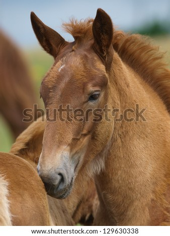 Two Suffolk Punch foals stand next to each other and mutual groom. - stock photo