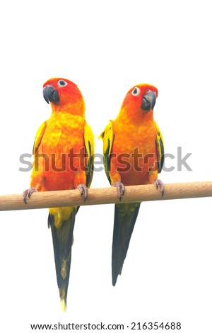 Two sun Conure Parrot Screaming on a Branch isolated on white background