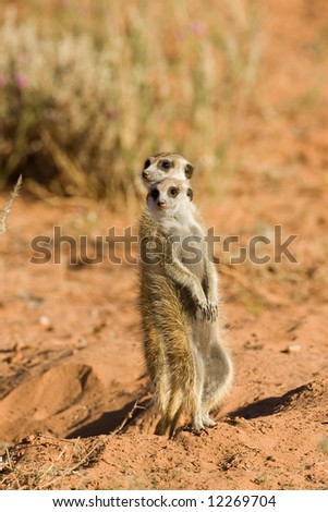Two Suricate or meerkat standing in Kalahari desert; Suricata suricatta; South Africa