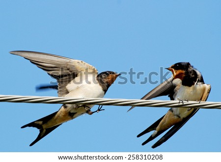 Two swallows in conflict - stock photo