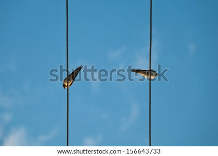 Two swallows sitting at the background of blue sky/Two swallows/Two swallows at the background of blue sky