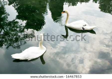 Two swan swim, whirls around each other. They couple. The peninsula of Crimea. Alupka. Vorontsovskim Garden next to the palace. Swan Lake.