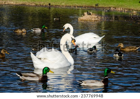 Two swans among a number of ducks - stock photo