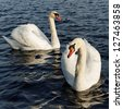 Two swans are swimming on the lake. - stock photo