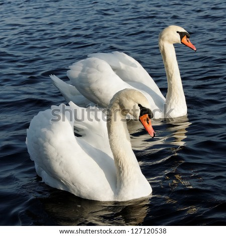 Two swans are swimming on the lake.