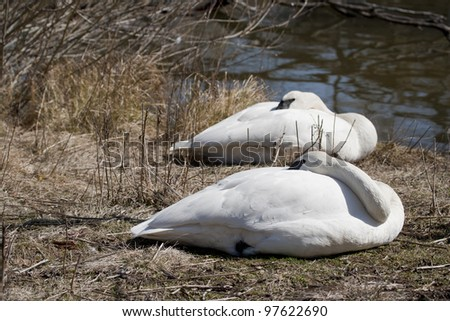 Two Swans asleep in the sun on a spring morning next to the lake.