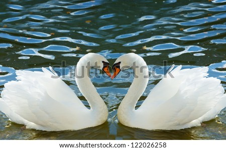 Two swans bent necks in the form of heart