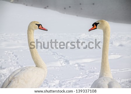 Two swans (Cygnus olor) in love, Zagreb, Jarun lake. Winter time. - stock photo