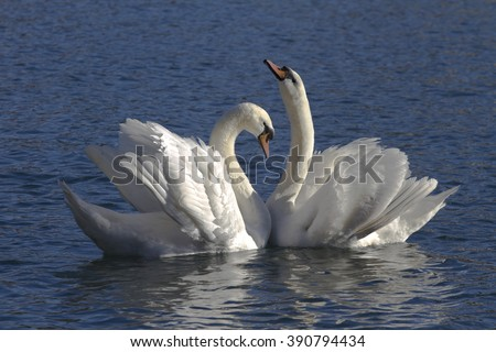 two swans during courtship