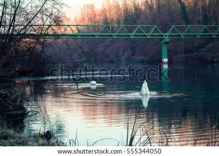 Two Swans fishing in a river in Italy during Winter.