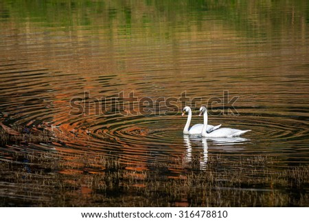 Two swans glide across lake, with autumn forest reflection, at sunset - stock photo