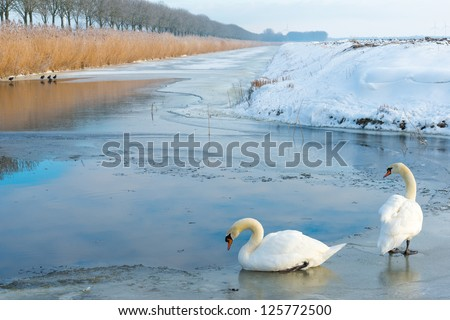 Two swans in a frozen canal in winter - stock photo