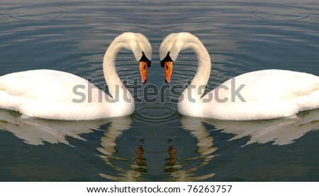 Two swans making heart with their necks - stock photo