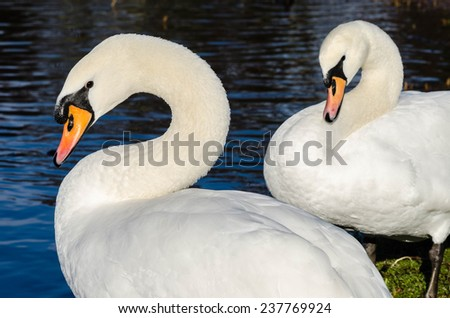 Two swans standing on the shore of a lake - stock photo