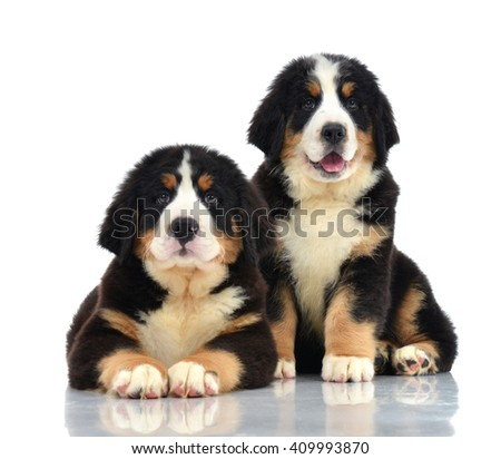 Two sweet Berner Sennenhund or Bernese Mountain puppies sitting in studio looking at camera isolated on a white background - stock photo