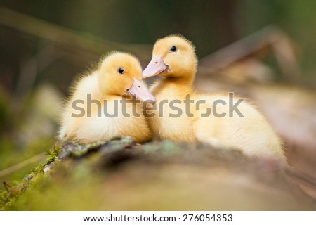 Two sweet little ducklings