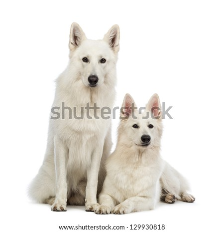 Two Swiss Shepherd dogs, 5 years old, lying and sitting in front of white background