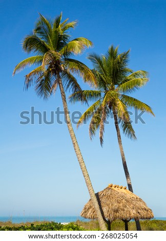 Two tall palm trees rise above a thatched tiki hut roof on a Gulf Coast beach at Sanibel Island, Florida. - stock photo