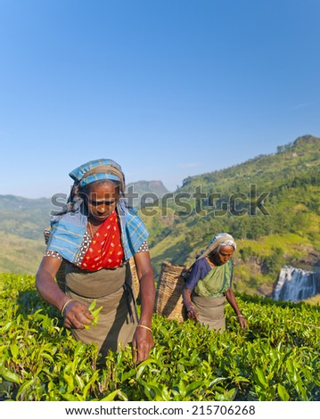 Two tea pickers picking leaves. - stock photo