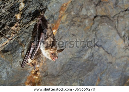 Two terrifying bats with bared teeth hanging on the wall of the cave and examining surroundings. Wildlife photography. - stock photo