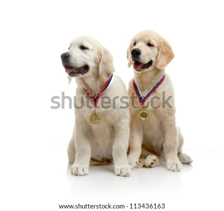 two three-month puppy golden retriever ,shot in the studio on a white background