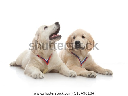 two three-month puppy golden retriever ,shot in the studio on a white background - stock photo