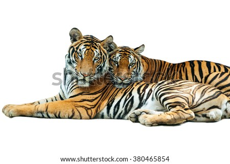 Two tiger on a white background. - stock photo