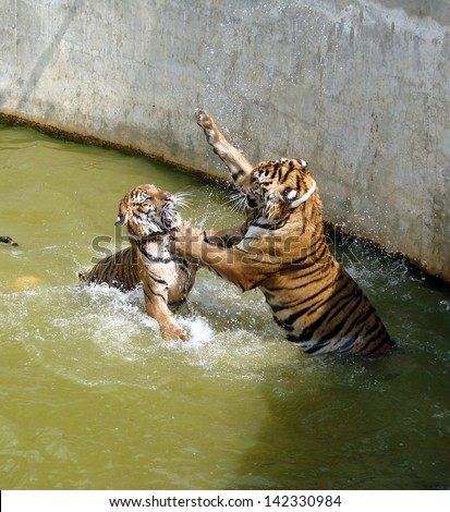 Two tigers fighting in the water. The picture was taken in the Tiger Temple, Thailand - stock photo