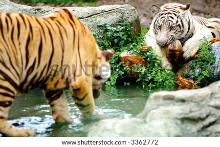 Two Tigers. Some grain visible due to low light condition. - stock photo