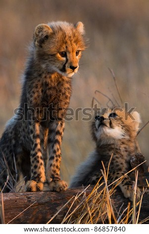 Two tiny cheetah cubs standing on a tree stump - stock photo