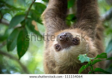 Two-toed sloth hanging from a tree in the jungle in Costa Rica. - stock photo