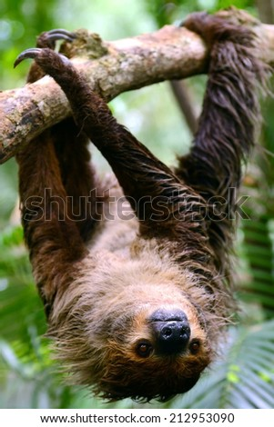 Two Toed Sloth hanging on tree - stock photo