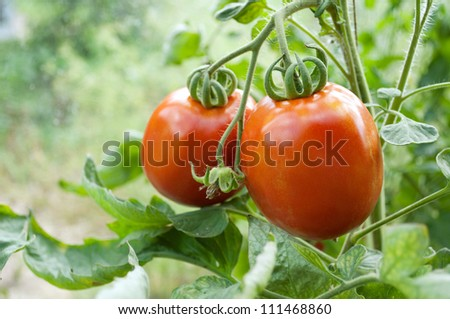 Two tomatoes on a vegetable bed. - stock photo