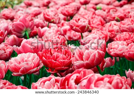 Two-tone pink double bloom tulips on field. - stock photo