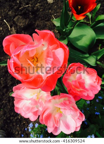 Two-tone pink double bloom tulips on field. Peony tulip.