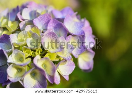 Two tone purple yellow flowers hydrangea stock photo edit now two tone purple and yellow flowers of hydrangea mightylinksfo