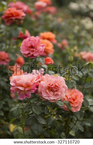 Two-Tone Rose Blooming in a Garden - stock photo