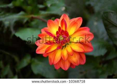 two tones dahlia aster flower (alive in summer and autumn seasons)