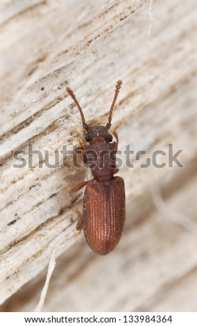 Two-toothed Grain Beetle, Silvanus bidentatus on wood, extreme close-up - stock photo