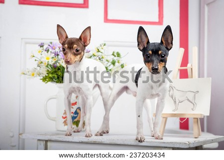 Two toy fox terrier - stock photo