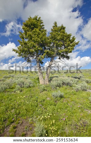 Two trees, spring flowers and mountains in in Centennial Valley near Lakeview, MT - stock photo