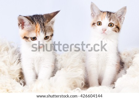 two tri-colored spotted kitten sitting on a fur rug for cats - stock photo