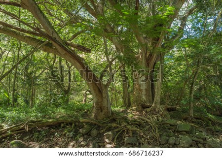 Two Tropical Trees in the Hawaiian Rain Forest.  Hidden scene of a faint trail between to enduring jungle trees.