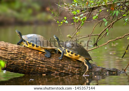 Two turtles are basking on a log in the river under some foliage.