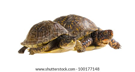 Two turtles at the start. Male and female three-toed box turtle - Terrapene carolina triunguis
