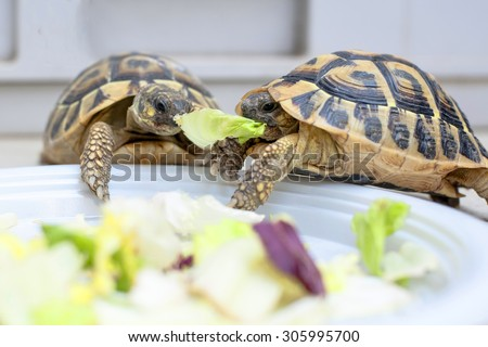 Two turtles in competition on a white dish - stock photo