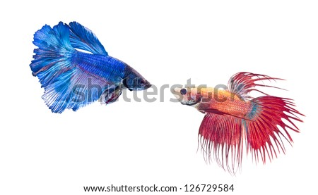 two types of fighting fish - stock photo